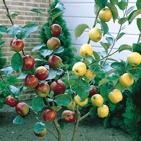 2 fruit trees in one многосортовые деревья дерево сад питомник quot сад вашей