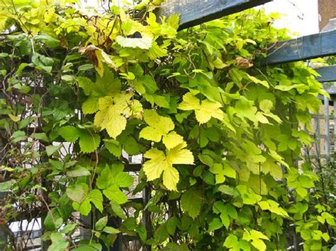 19 best climbing plants for pergolas and trellises its