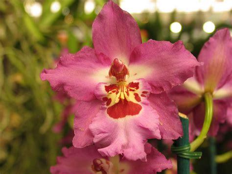 imagenes hermosas de orquideas galer 237 a de im 225 genes orqu 237 deas