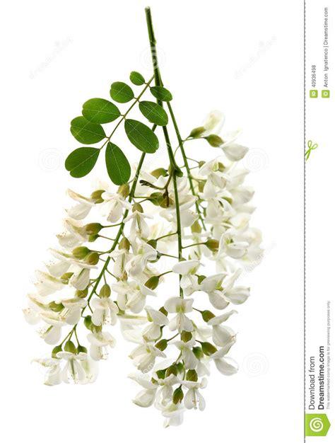 fiore acacia fleurs d acacia photo stock image du beaut 233 acacia