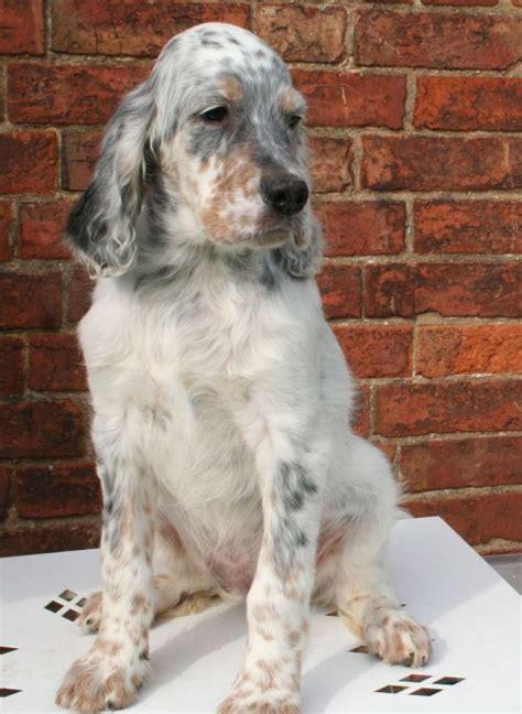 lemon setter dog 419 best images about english setters on pinterest