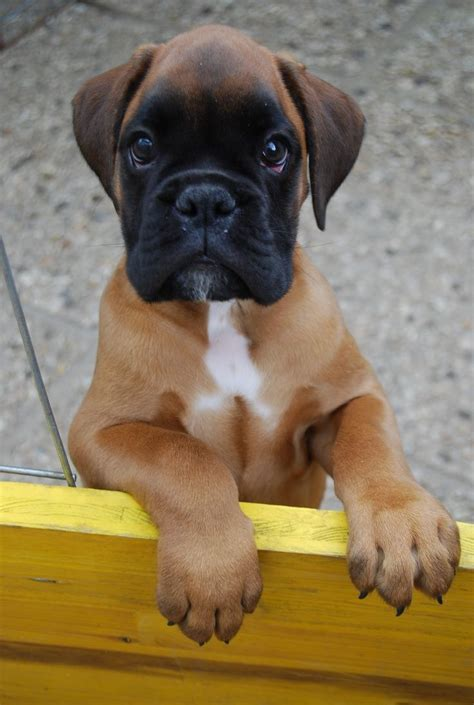 boxer puppies for sale in delaware 25 best boxer dogs ideas on
