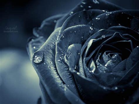 wallpaper black rose hd black rose wallpapers hd pictures one hd wallpaper