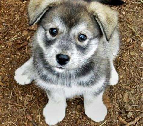 pug and husky 15 pug cross breeds you ve got to see to believe
