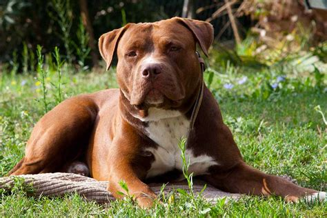 american pit bull terrier united kennel club ukc pitbull red nose ukc carattere wroc awski informator