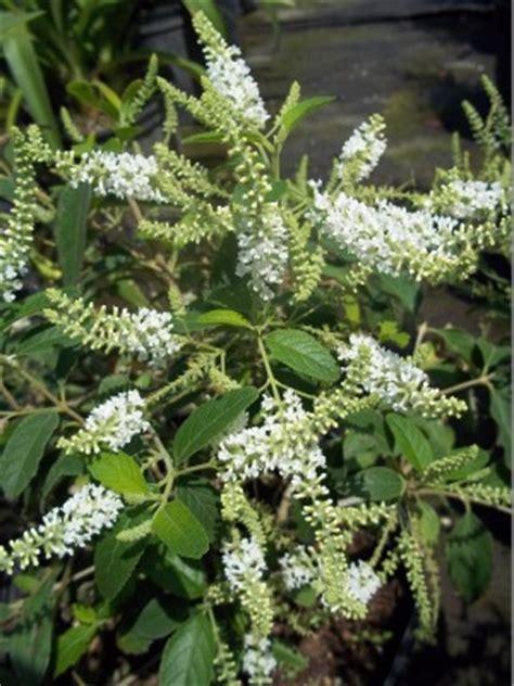 6 fragrant plants every yard needs florida nursery mart