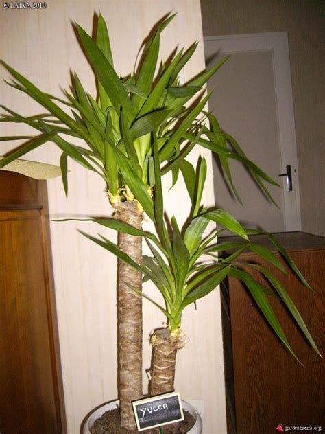 Plante Verte Yucca by Plante Verte Yuka L Atelier Des Fleurs