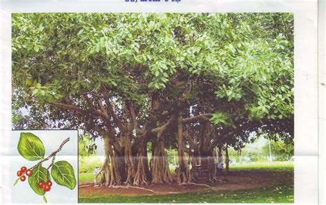 tattoo maker in bareilly uses of banyan tree in hindi language