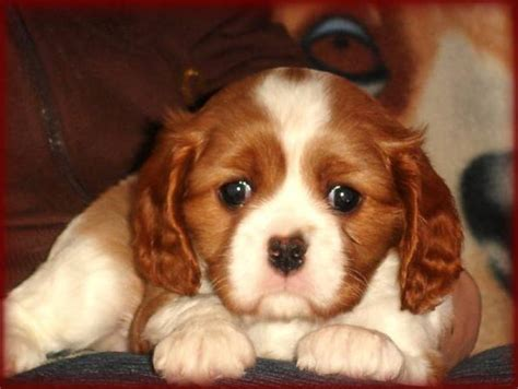 king charles cavalier puppies price cavalier king charles spaniel puppies for sale elke hennrich 1 365 dogs for sale