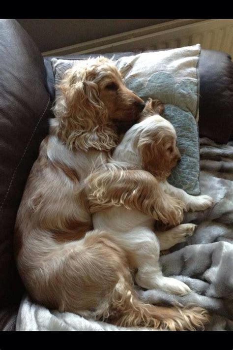 how much are cocker spaniel puppies 25 best ideas about spaniels on spaniel puppies cocker and cocker