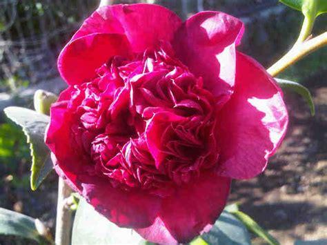 Bibit Bunga Camelia tanaman camellia japonica bibitbunga