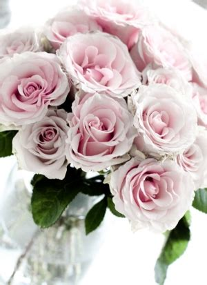 Ayuna Pink pink roses