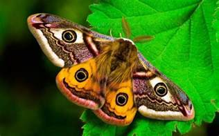 Viral Diseases In Plants And Animals - moths antheraea giant silkmoths giant silkworms