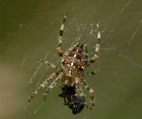 Garden Spider Cross Back Lbnature Archive Images