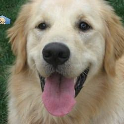 los angeles golden retriever golden retriever club of greater los angeles dogs in our photo