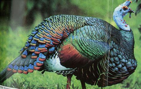 ocellated turkey ferrebeekeeper