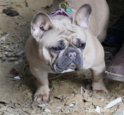 pug bulldog mix puppies for sale bulldog x pug east pets4homes