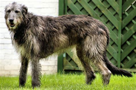 canapé pour chien grande taille irischer wolfshund gr 246 223 ter hund der welt ist ein sanfter