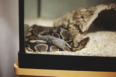 slithering out of skin photographs of a python