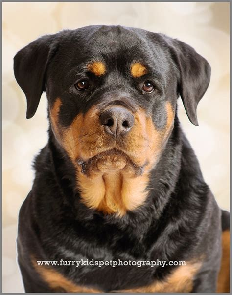 rottweiler rescue maine pet photography tag archives rottweiler rescue