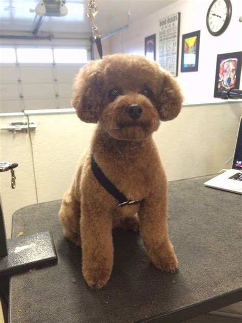 toy poodle haircuts pictures pictures of toy poodle haircuts toy poodle twins dogs