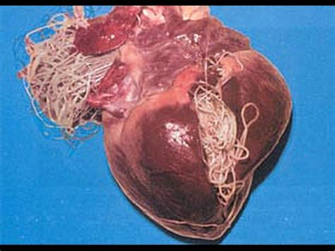 heartworm in dogs heartworm disease in dogs and cats web dvm
