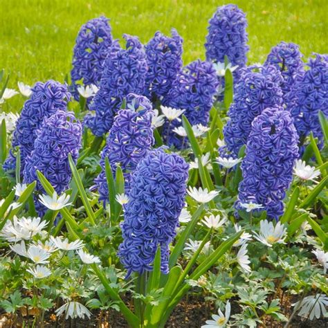 fiore giacinto giacinti bulbi bulbi