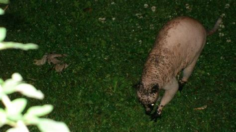dead raccoon in my backyard living montauk monster terrorizing canada