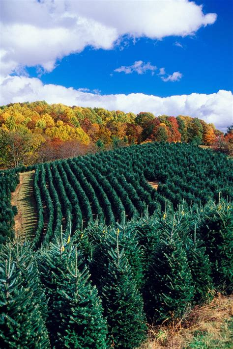 nc mountains tree farm 78 images about boone nc on fraser fir general store and blue ridge mountains