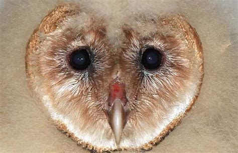 Armchair General Definition by The Best 28 Images Of What Eats Barn Owls Feeding