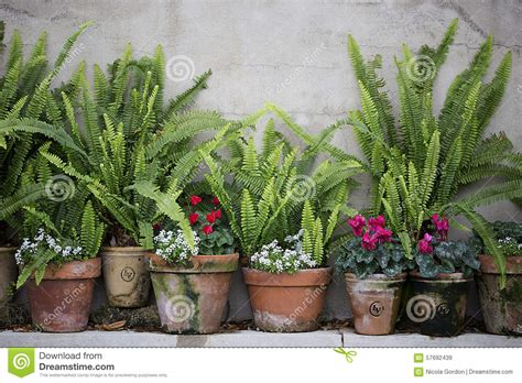 garden pots with ferns stock photo image 57692439