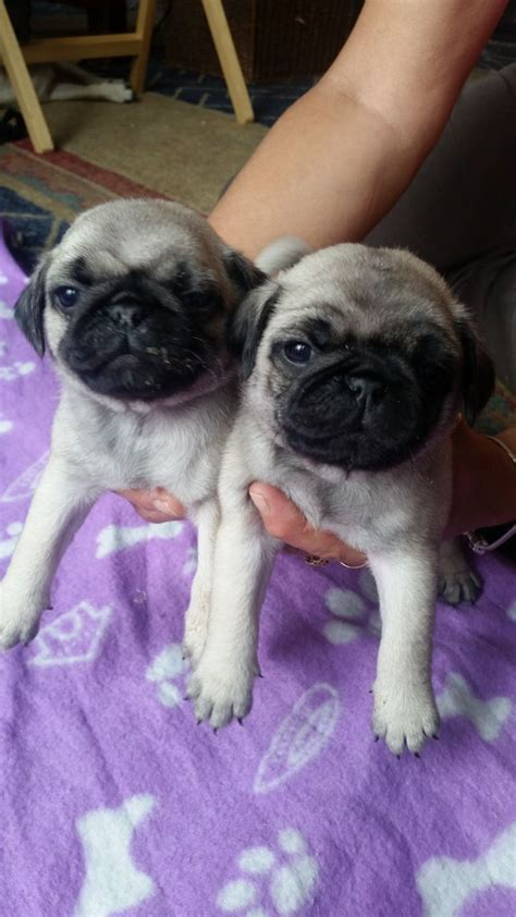 pug puppies for sale hshire pug puppies for sale widnes cheshire pets4homes