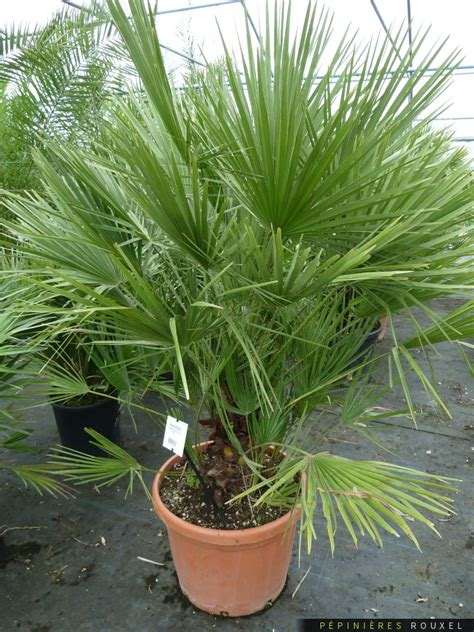 Chamaerops Excelsa Taille Adulte by Chamaerops Humilis P 233 Pini 232 Res Rouxel