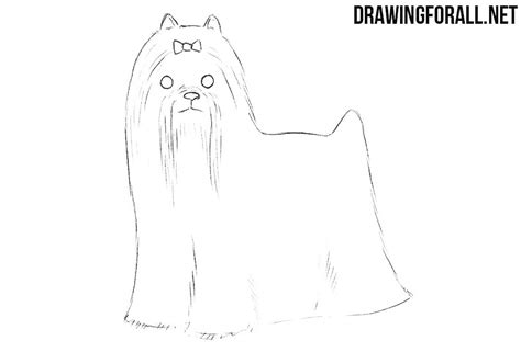 how to draw a yorkie puppy how to draw a terrier drawingforall net