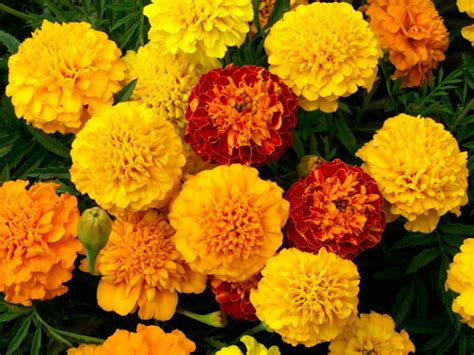 marigolds shade seasonal flowers for your garden papertostone