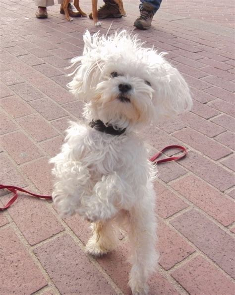 how big will my mutt puppy get how big do maltese dogs get breeds picture