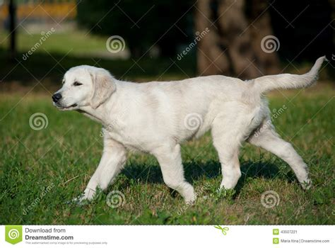 walking golden retriever puppy puppy trotting stock photo image 43507221