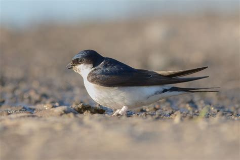 house martin common house martin wikipedia