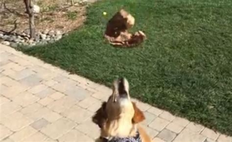 golden retriever food amount when it comes to catching food this golden retriever shows his terrible talent