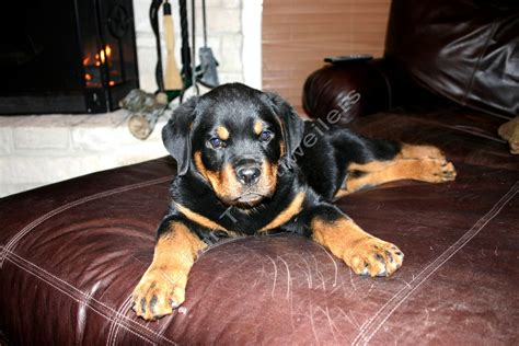 difference between german and american rottweiler difference between american rottweiler german rottweiler photo happy heaven