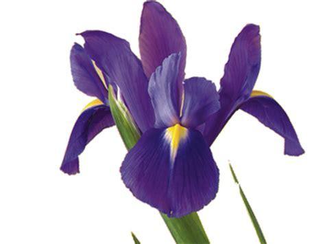 Iris Flower Meaning & Symbolism   Teleflora
