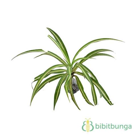 tanaman spider plant bibitbungacom