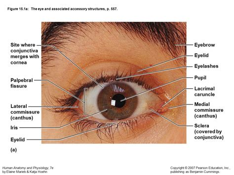 outer eye diagram external eye anatomy anatomy human