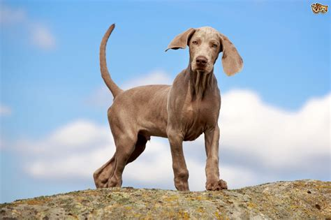 a puppy is a weimaraner the right for you pets4homes