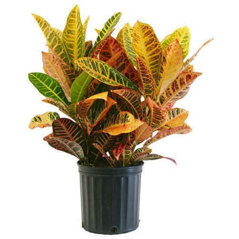 petra croton plant petra croton decorative plant