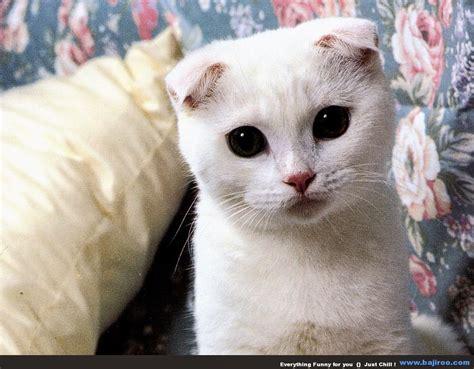 Shoo Untuk Kucing Anggora 150 gambar kucing lucu dan imut anggora maine