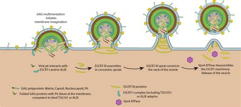 z protein lassa virus specific motifs in viral proteins called late assembly