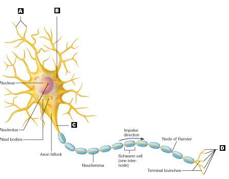 neuron diagram labeled image gallery motor neuron labeled