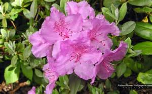 big rhododendron wallpaper 702317
