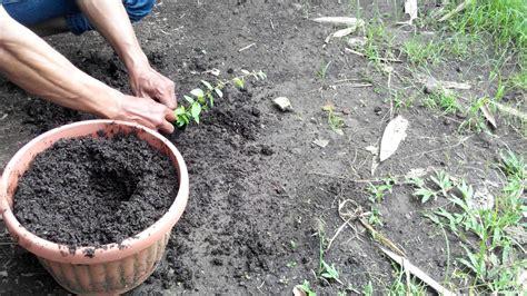 Jual Bibit Pohon Cendana Jogja cara menanam bibit bidara arab di pot jual pohon bidara